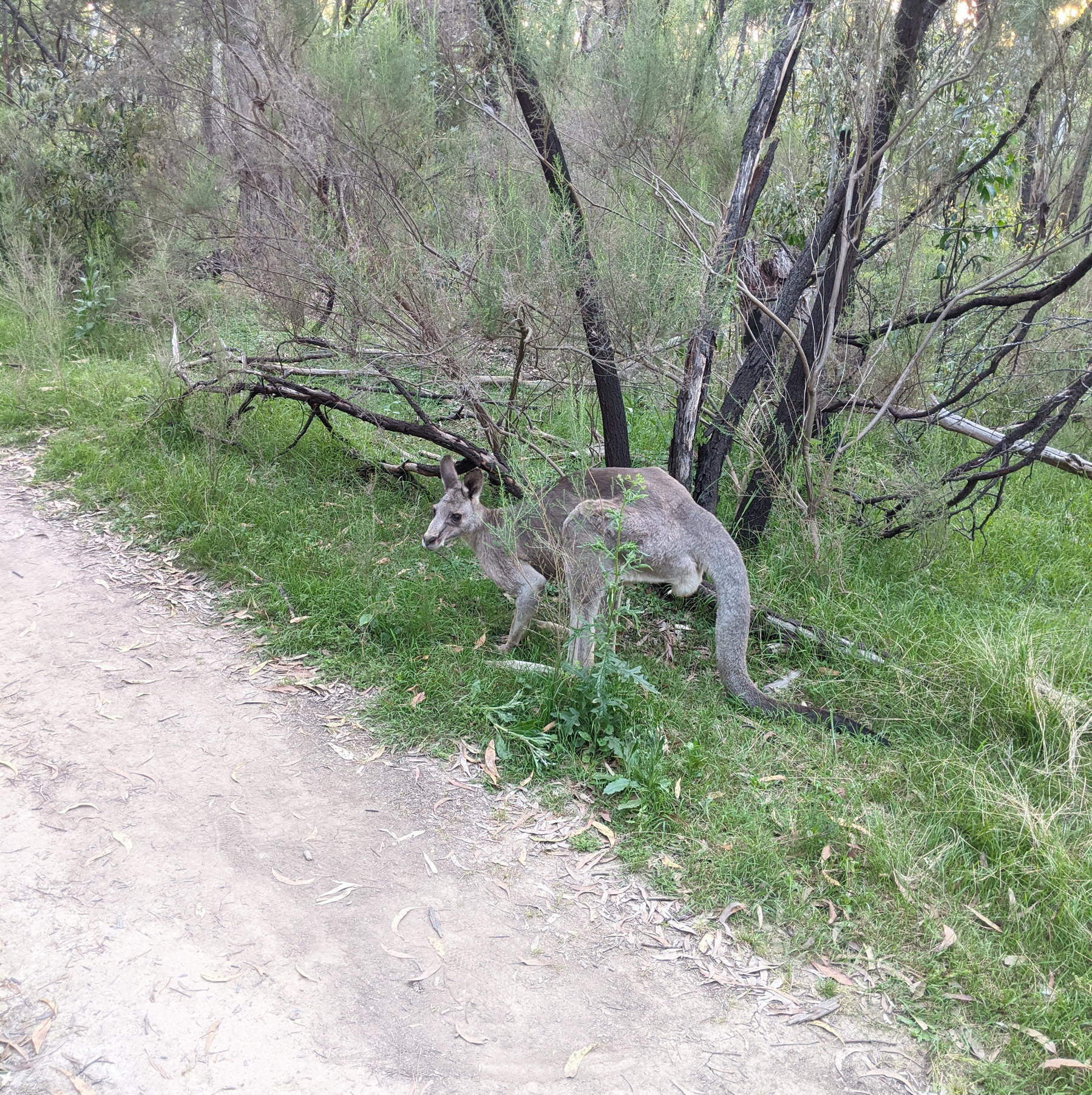 A kangaroo by a forest path